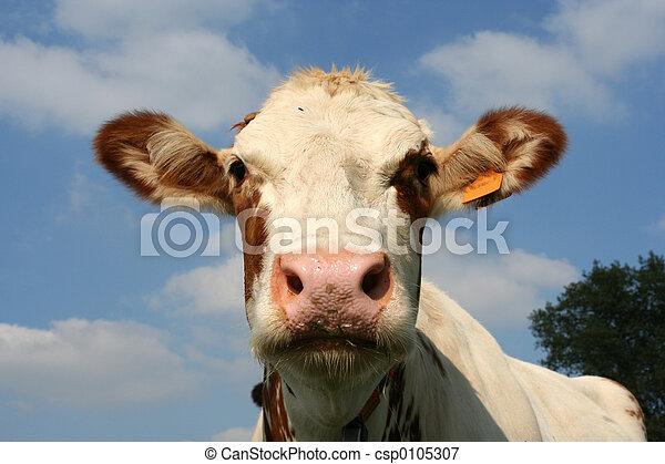 母牛 - csp0105307