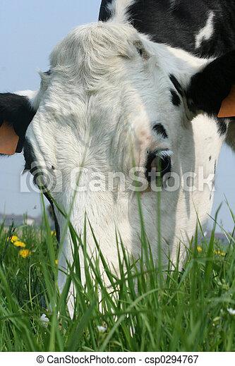 母牛 - csp0294767