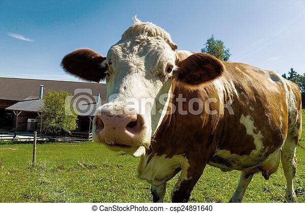 母牛, 牧場, 奶制品, 夏天 - csp24891640