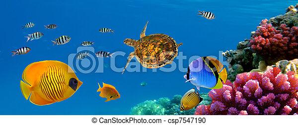 水下, 全景, 珊瑚礁, 魚, 海龜 - csp7547190