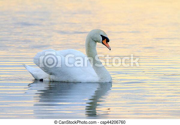 水, 白鳥, 日没 - csp44206760