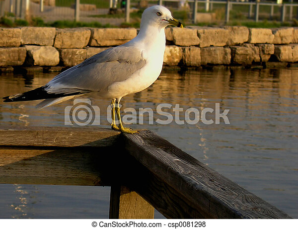 海鸥 - csp0081298
