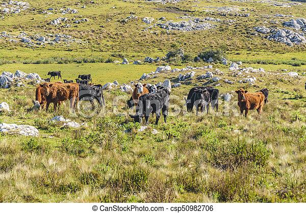 牛, 田舎, maldonado, ウルグアイ - csp50982706