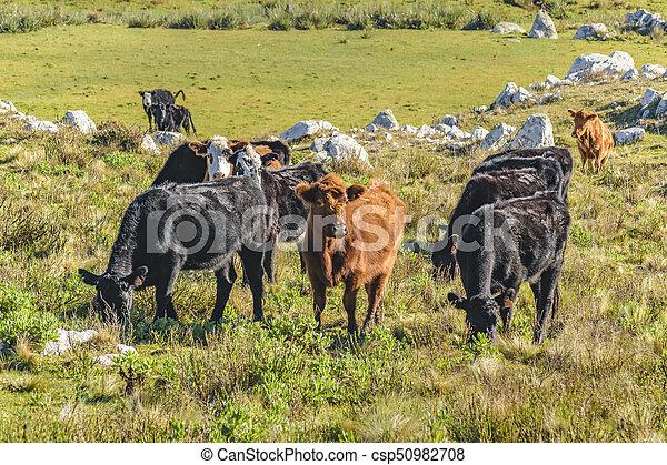 牛, 田舎, maldonado, ウルグアイ - csp50982708