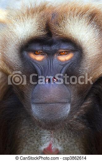 猿 - csp3862614