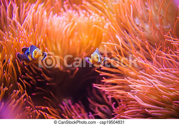 珊瑚, clownfish, 礁石 - csp19504831