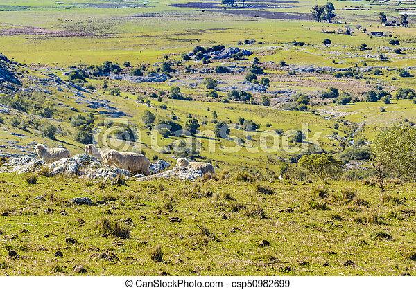 田舎, sheeps, maldonado, ウルグアイ - csp50982699