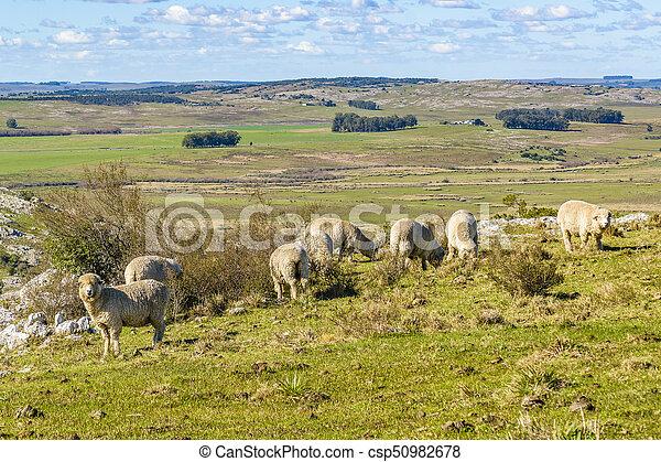 田舎, sheeps, maldonado, ウルグアイ - csp50982678