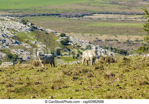 田舎, sheeps, maldonado, ウルグアイ - csp50982688