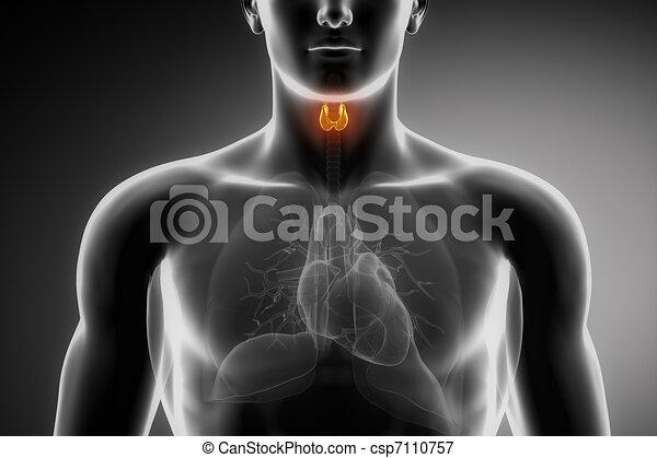 甲状腺, 解剖学, マレ - csp7110757
