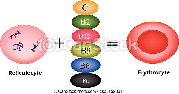 發展, 維生素, 插圖, erythrocyte., 矢量, 血液, 根本, 紅色, cells. - csp51523011
