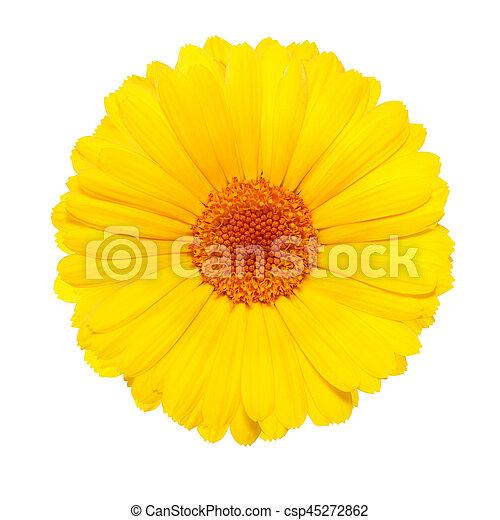 白い花, 背景, 隔離された, 黄色 - csp45272862