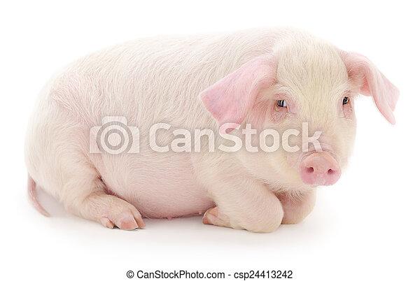 白色, 豬 - csp24413242