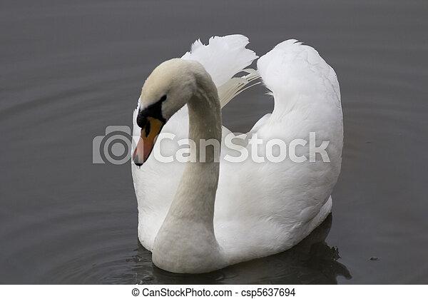 白鳥 - csp5637694