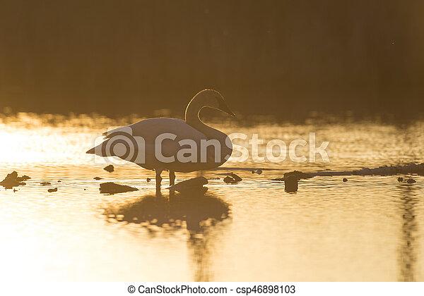 白鳥, 日没, トランペット奏者 - csp46898103