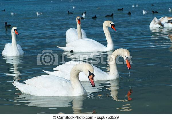 白鳥, 湖 - csp6753529