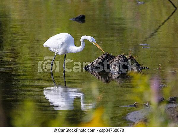 白鷺, 湖捕魚 - csp84768870