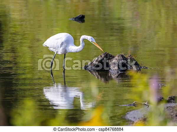 白鷺, 湖捕魚 - csp84768884