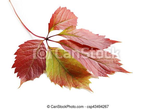 秋, 白, 葉, 隔離された, 背景 - csp43494267