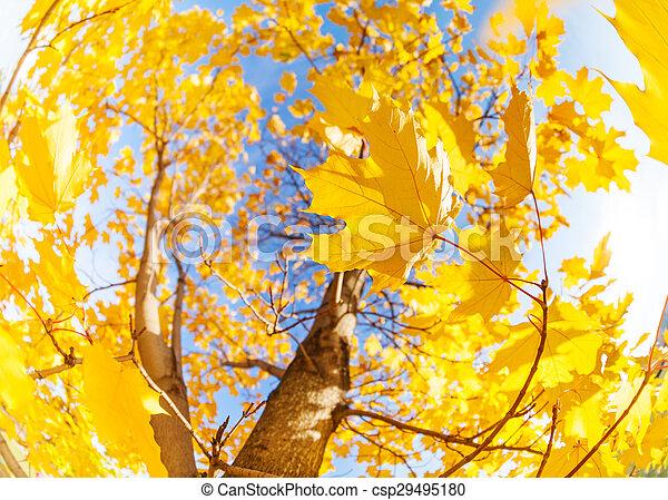空, 葉, 木, 黄色, 構成, 上に, かえで - csp29495180
