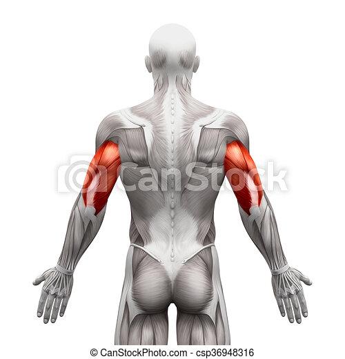 筋肉 隔離された イラスト 解剖学 三頭筋 白 3d