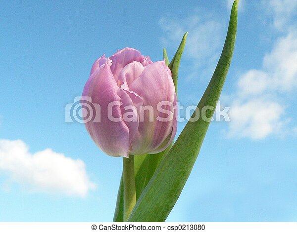 粉紅色, 郁金香 - csp0213080