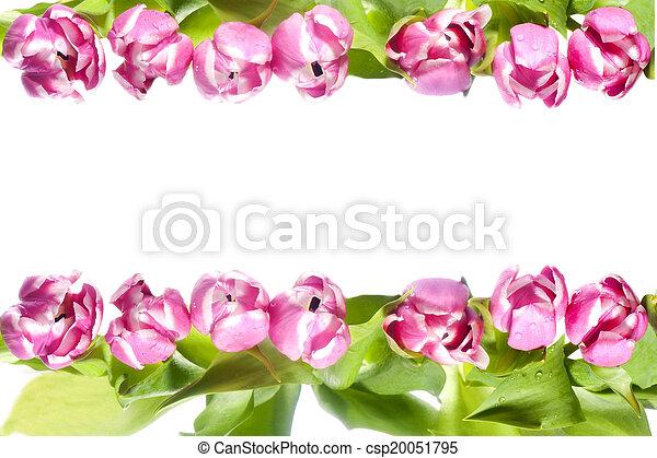 粉紅色, 郁金香 - csp20051795
