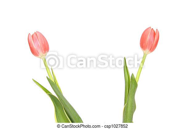 粉紅色, 鬱金香, 白色, 被隔离 - csp1027852
