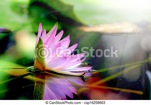 粉红色, 水百合花, pond., 反映 - csp16258663