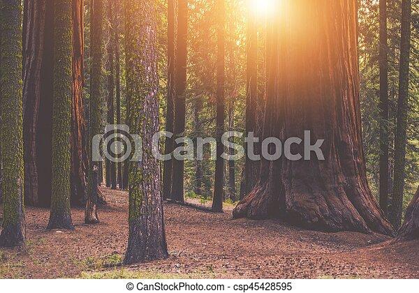 紅杉, 巨人, 地方, 森林 - csp45428595