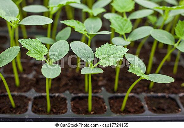 綠色, 秧苗, 黃瓜, 托盤 - csp17724155