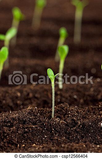 绿色, 秧苗 - csp12566404