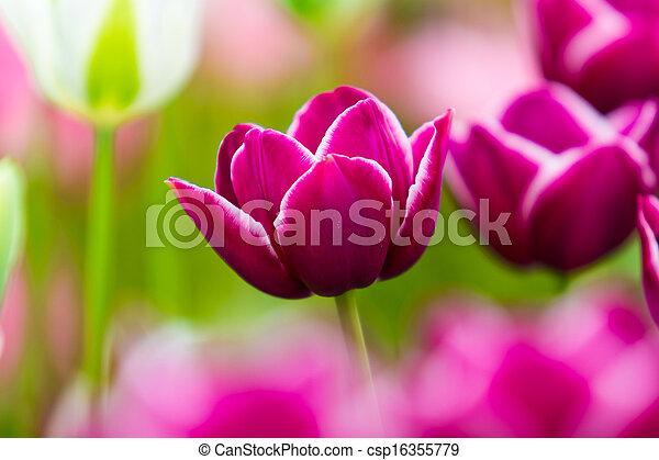 美しい, チューリップ, flowers., field., 背景, 春の花 - csp16355779