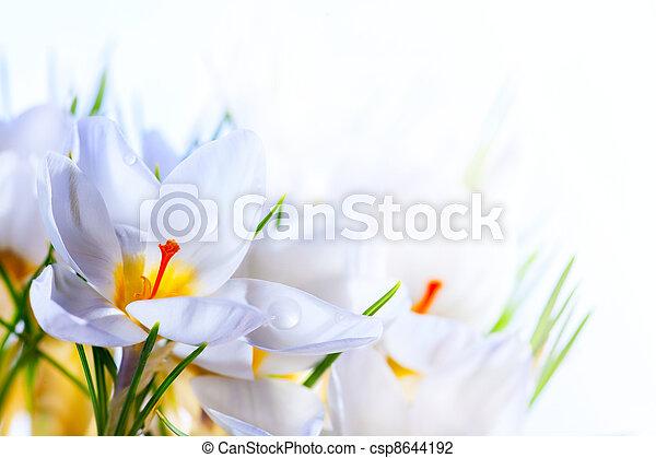 美しい, 芸術, 春, クロッカス, 背景, 白い花 - csp8644192