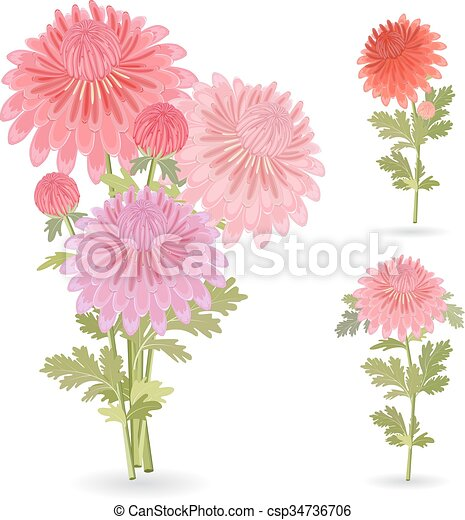 美しい, 菊, あなたの, コレクション, design. - csp34736706