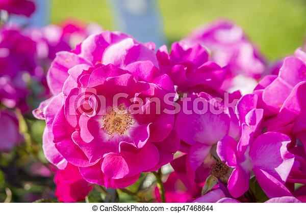 美丽, 升高, 微妙, 花园, 色彩丰富 - csp47468644