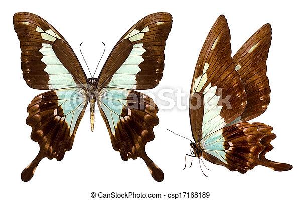 美丽, 蝴蝶, 白色, 隔离 - csp17168189