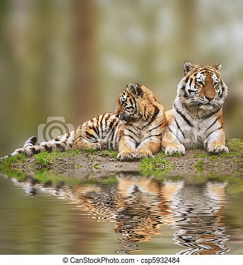 美丽, tigress, 多草, 放松, 幼兽, 水, 小山, 反映 - csp5932484