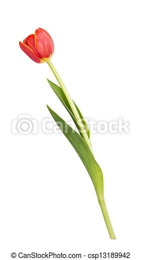美麗, 郁金香, 單個 - csp13189942