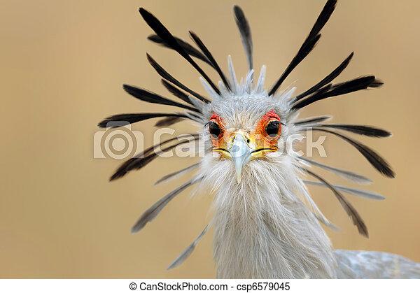 肖像画, 鳥, 秘書 - csp6579045