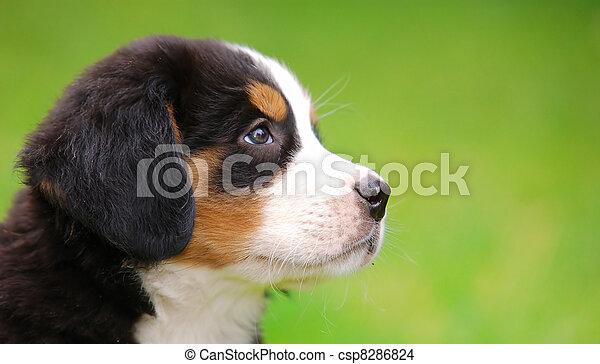 肖像画, bernese, 犬, 山 - csp8286824