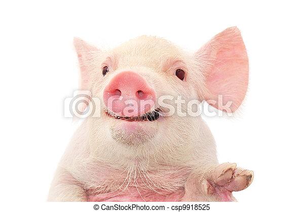 肖像, 豬 - csp9918525