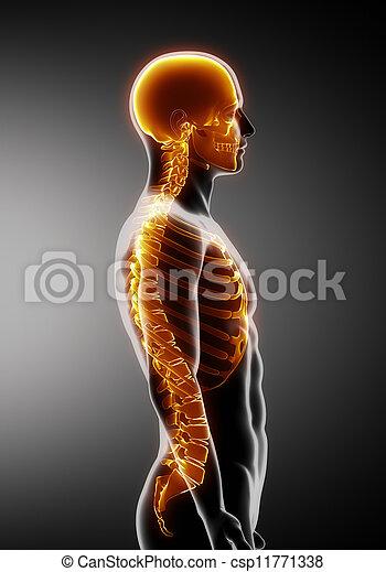 脊柱, 側面, あばら骨, 頭骨, 光景 - csp11771338