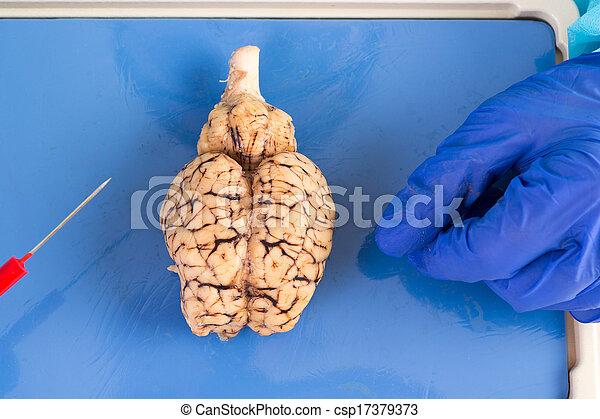 脳, 見られた, そっくりそのまま, の上, 牛 - csp17379373