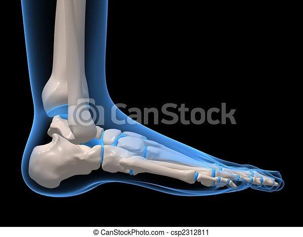 腳, 骨骼 - csp2312811