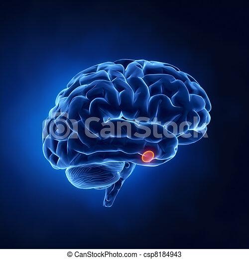 腺, -, 脳, 部分, 人間, 脳下垂体, x 線, 光景 - csp8184943