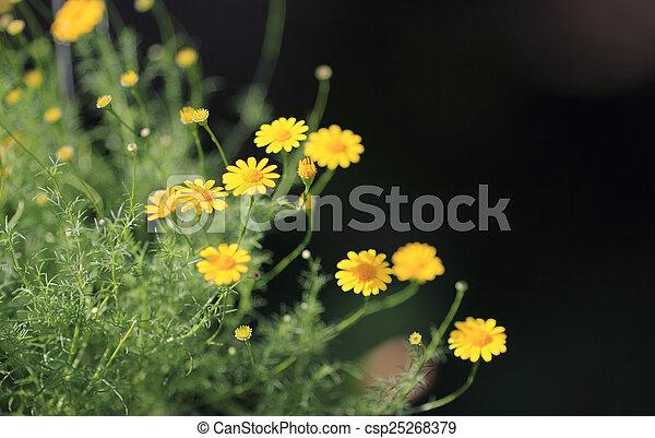 花のヒナギク, dahlberg - csp25268379