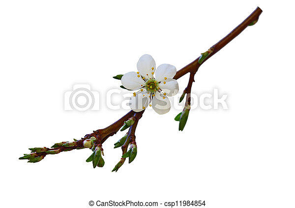 花, さくらんぼ - csp11984854