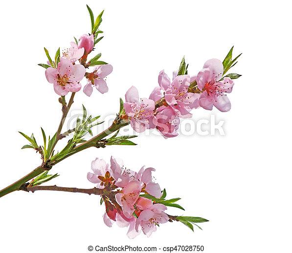 花, さくらんぼ - csp47028750