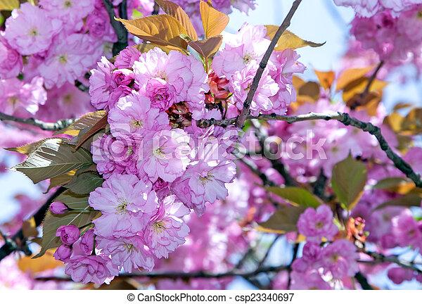 花, さくらんぼ - csp23340697